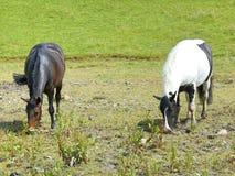 Caballos que pastan en un campo Fotografía de archivo libre de regalías