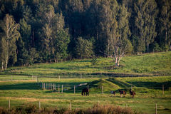 Caballos que pastan en un campo Imagen de archivo