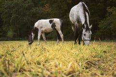 Caballos que pastan en un pasto rural cerca del pienso del ganado del bosque en corral Fotos de archivo
