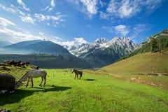 Caballos que pastan en un prado del verano con el campo verde fotografía de archivo