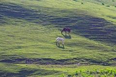 Caballos que pastan en un prado del verano con el campo y la montaña verdes fotografía de archivo libre de regalías