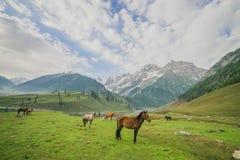 Caballos que pastan en un prado del verano con el campo y la montaña verdes fotos de archivo