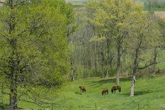 Caballos que pastan en un Spring Valley Imagenes de archivo