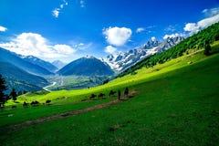 Caballos que pastan en una colina, Cachemira imágenes de archivo libres de regalías