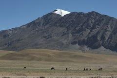 Caballos que pastan junto al lago en la manera al lago Tsomoriri foto de archivo libre de regalías
