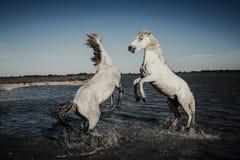 Caballos que se alzan y que juegan Imagen de archivo