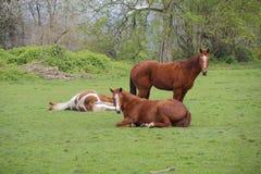 Caballos que se relajan al aire libre Foto de archivo libre de regalías