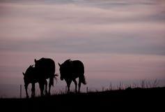 Caballos que vuelven a casa fotografía de archivo libre de regalías