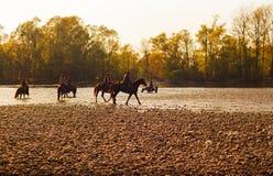 Caballos, río de Tesino Imagen de archivo