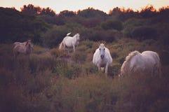 Caballos salvajes blancos de Camargue, Francia fotografía de archivo