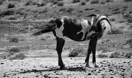 Caballos salvajes blancos y negros Foto de archivo libre de regalías