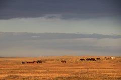 Caballos salvajes, cerca de Porvenir, Patagonia, Chile fotografía de archivo