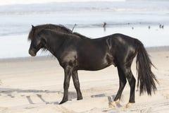 Caballos salvajes de Outer Banks en la playa fotos de archivo libres de regalías