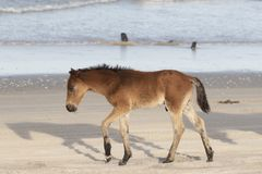 Caballos salvajes de Outer Banks en la playa foto de archivo