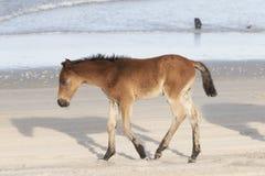 Caballos salvajes de Outer Banks en la playa foto de archivo libre de regalías