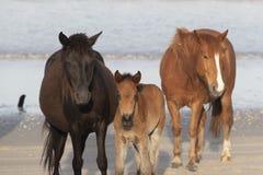 Caballos salvajes de Outer Banks en la playa fotos de archivo