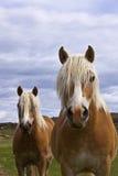 Caballos salvajes del mustango del oeste Fotografía de archivo
