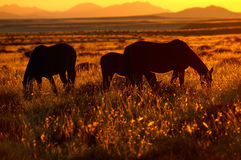 Caballos salvajes del Namib Imagen de archivo