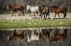 Caballos salvajes del río Salt fotos de archivo libres de regalías