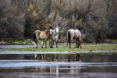 Caballos salvajes del río Salt Imagen de archivo libre de regalías