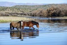 Caballos salvajes del río Salt Imagenes de archivo