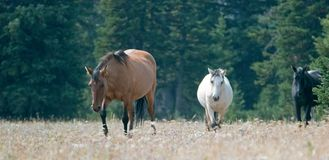 Caballos salvajes - el Dun del coyote y el Dun Pale Buckskin del albaricoque y los sementales negros en el caballo salvaje de las imágenes de archivo libres de regalías