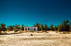 Caballos salvajes en el empalme de Death Valley Fotografía de archivo libre de regalías