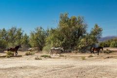 Caballos salvajes en el empalme de Death Valley Fotografía de archivo