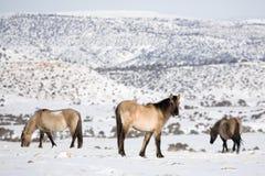 Caballos salvajes en invierno Foto de archivo libre de regalías