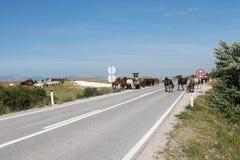 Caballos salvajes en la carretera principal cerca de Livno Fotografía de archivo