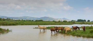 Caballos salvajes en la laguna Imagen de archivo libre de regalías