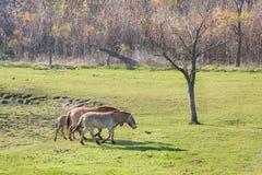 Caballos salvajes en la paramera húngara Fotografía de archivo