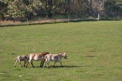 Caballos salvajes en la paramera húngara Fotos de archivo libres de regalías