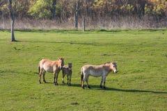 Caballos salvajes en la paramera húngara Fotos de archivo