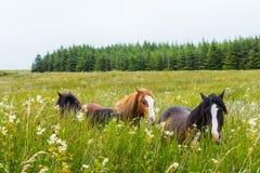 Caballos salvajes en paisaje irlandés imágenes de archivo libres de regalías