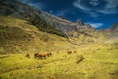 Caballos salvajes en Perú Fotografía de archivo