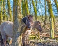 Caballos salvajes en un bosque Fotos de archivo libres de regalías