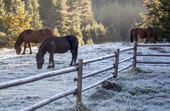 Caballos salvajes por la mañana fría Imagen de archivo libre de regalías