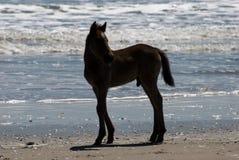 Caballos salvajes que caminan a lo largo de la playa en Corolla, Carolina del Norte Foto de archivo libre de regalías