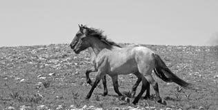 2 caballos salvajes que corren en las montañas de Pryor de Montana los E.E.U.U. - blanco y negro Imagenes de archivo