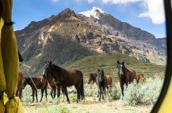 Caballos salvajes que pastan delante de una puerta de la tienda en un sitio para acampar en las montañas de Perú fotografía de archivo