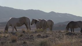Caballos salvajes que pastan en el desierto de Utah metrajes