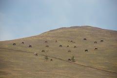Caballos salvajes que pastan en la ladera Foto de archivo