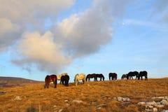 Caballos salvajes que pastan en montain Foto de archivo libre de regalías