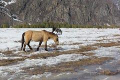 Caballos salvajes que pastan entre las montañas en la primavera Fotografía de archivo libre de regalías