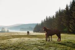 Caballos salvajes que pastan la hierba fresca en el campo de la montaña Hermoso Imágenes de archivo libres de regalías