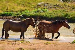 Caballos salvajes que salpican en una charca en un día de verano caliente Fotos de archivo