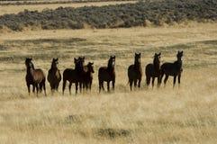 Caballos salvajes que se colocan en hierba alta Fotografía de archivo libre de regalías