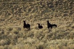 Caballos salvajes que se colocan en sagebrush fotografía de archivo libre de regalías