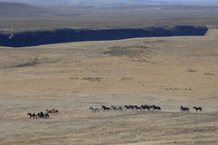 Caballos salvajes que se ejecutan a través de sagebrush Fotografía de archivo libre de regalías